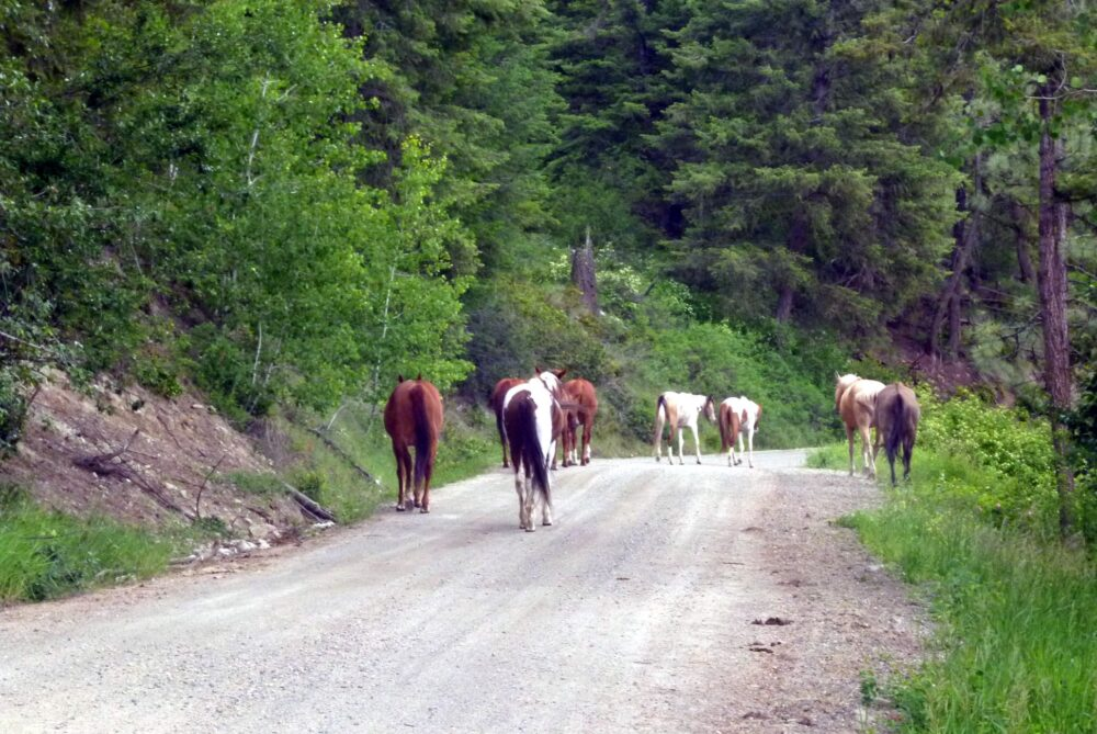 horses on road canadian rockies