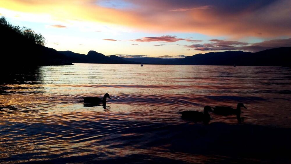 okanagan lake summer penticton ducks