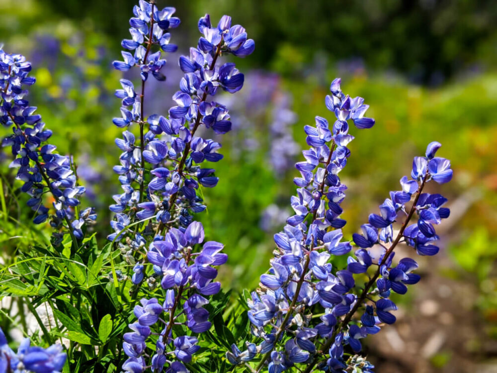 Close up of purple/blue coloured lupine flowers