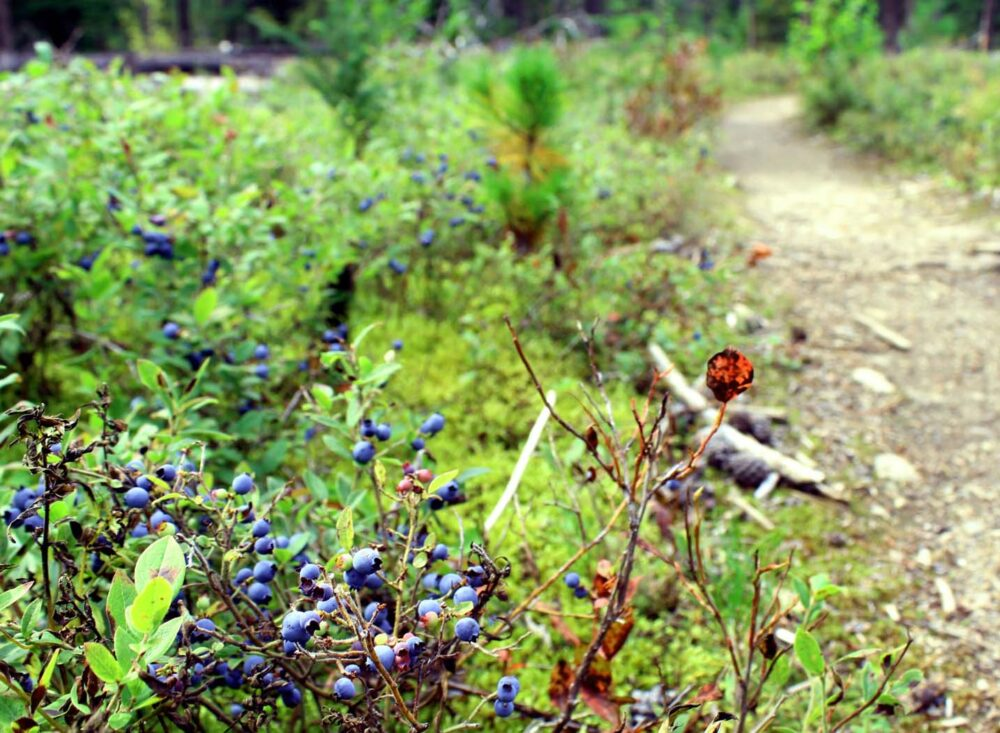 Hiking trail lined with blueberry trails on the way to Cariboo Falls