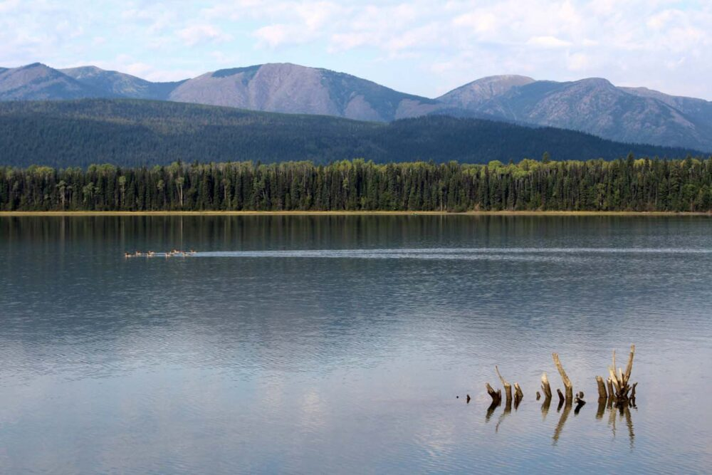 Calm lake on the Bowron Lakes Canoe Circuit with birds swimming past camera and rolling mountains beyond