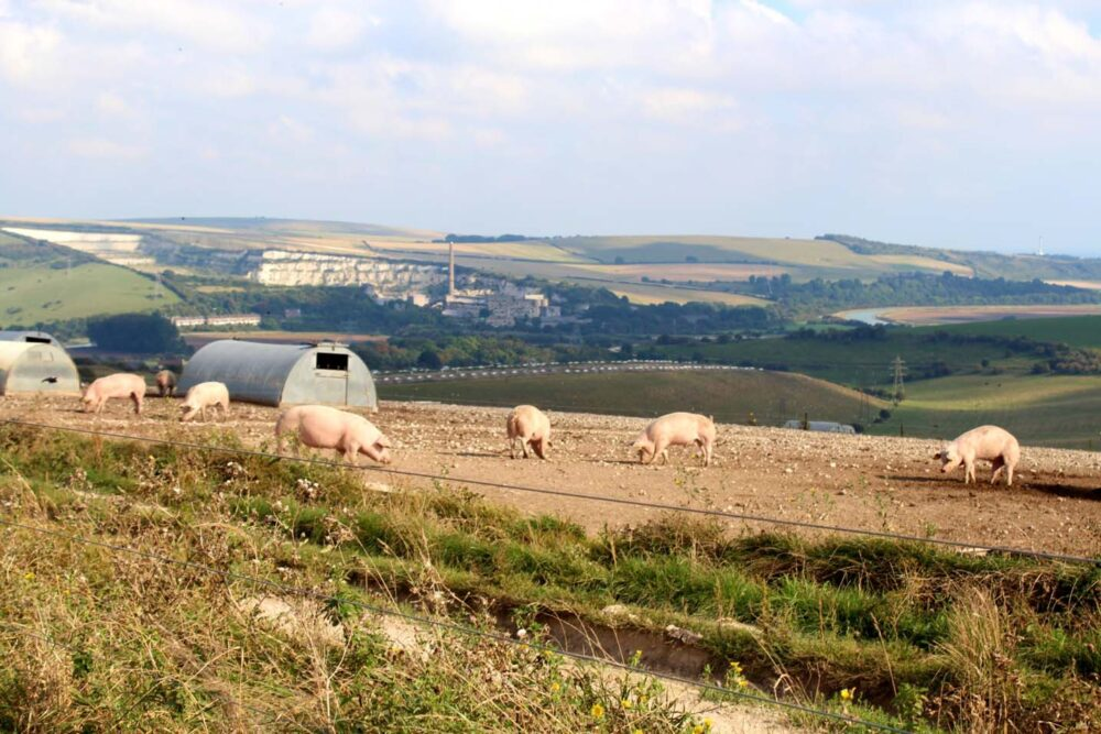 Walking the South Downs Way - Pig farm near Bramber