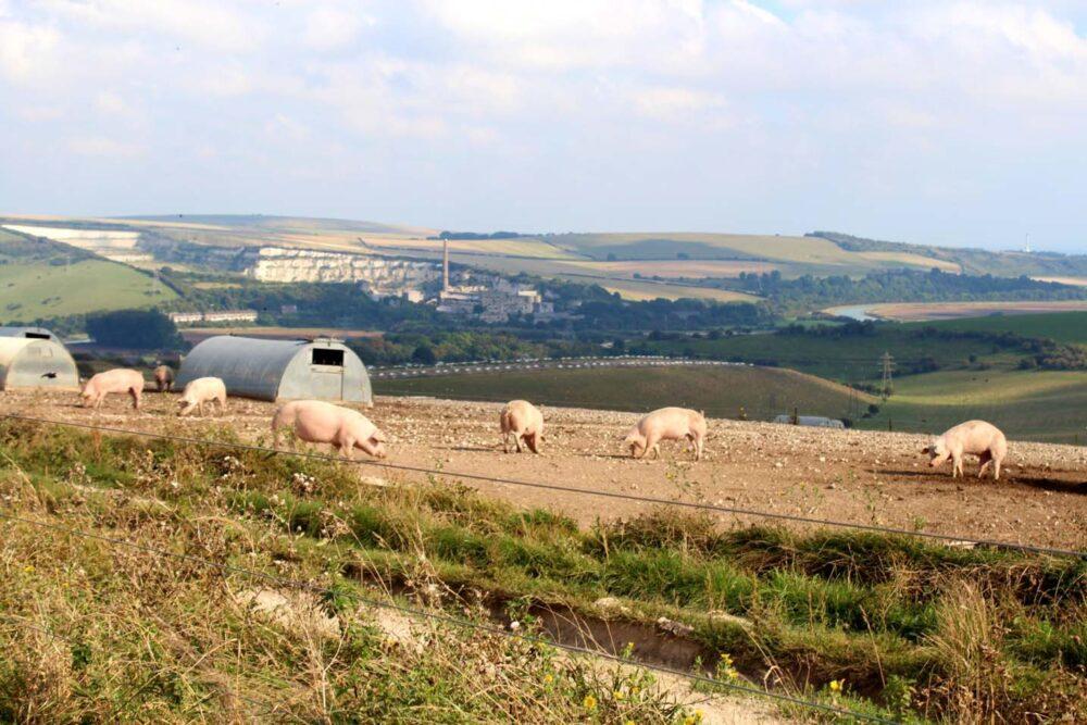 Walking the South Downs Way - Pig farm near Bramber