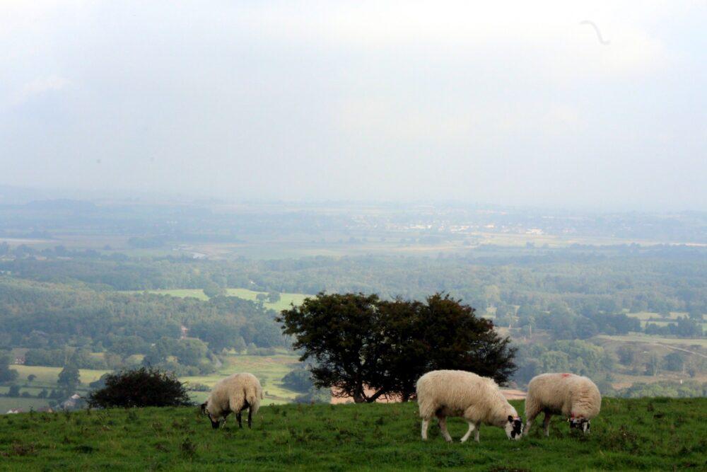 Sheep field with sheep grazing