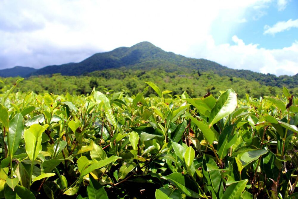 Tea plantation in front of green mountains in Far North Queensland