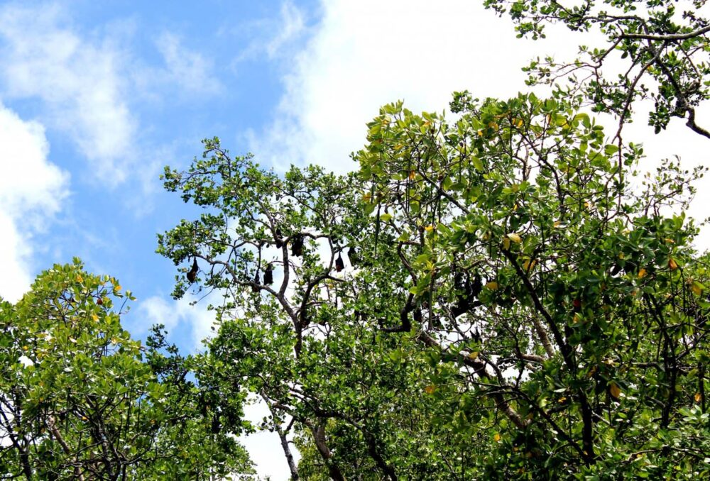 flying fox bats daintree river queensland