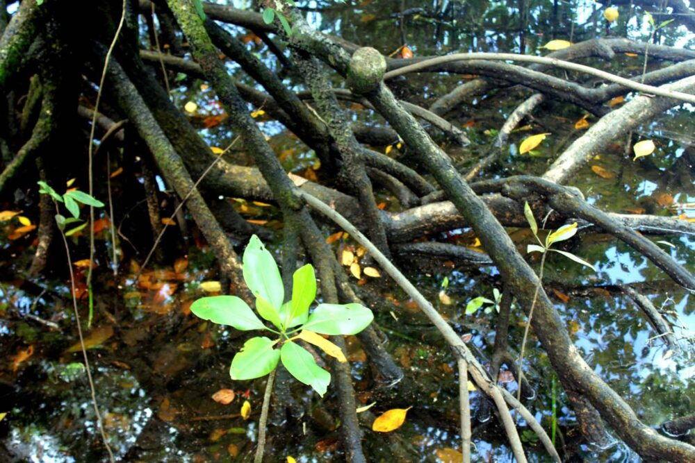 mangrove roots daintree rainforest queensland