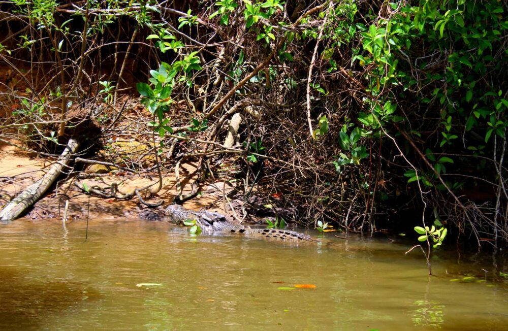 scarface crocodile daintree river queensland