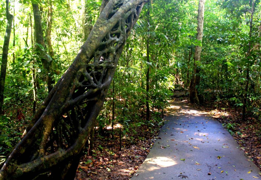 strangling vine daintree rainforest queensland