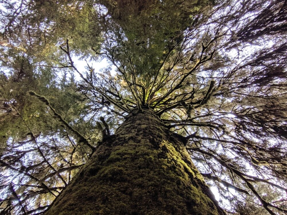 Looking up at a huge (and mossy) Sitka Spruce tree in Carmanah Walbran Provincial Park