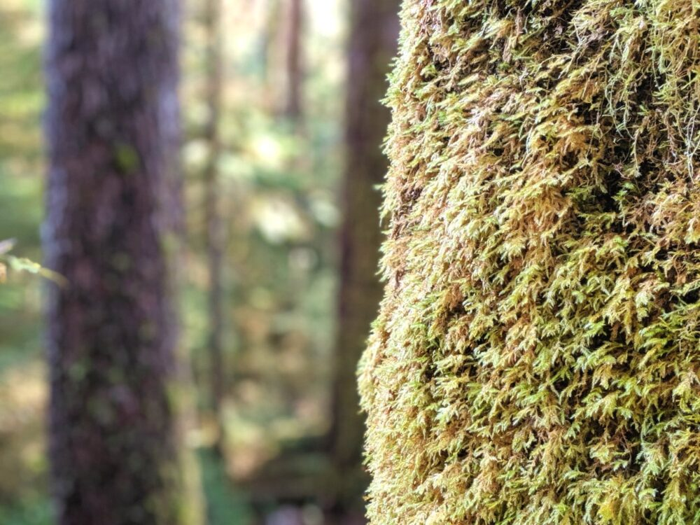Close up of moss on tree bark in Carmanah Walbran Provincial Park