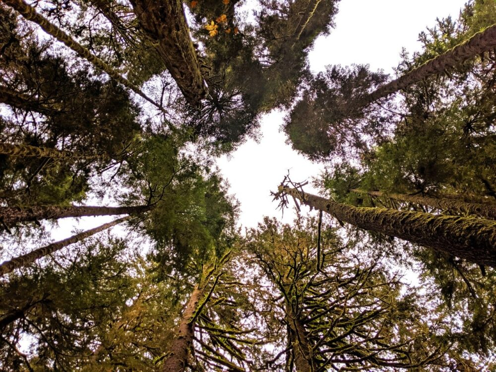 View looking up at the tops of trees in Carmanah Walbran Provincial Park