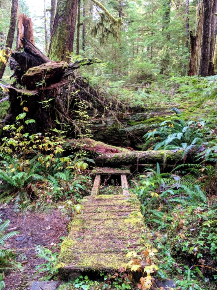 A huge fallen tree on a mossy boardwalk in Carmanah Walbran Provincial Park