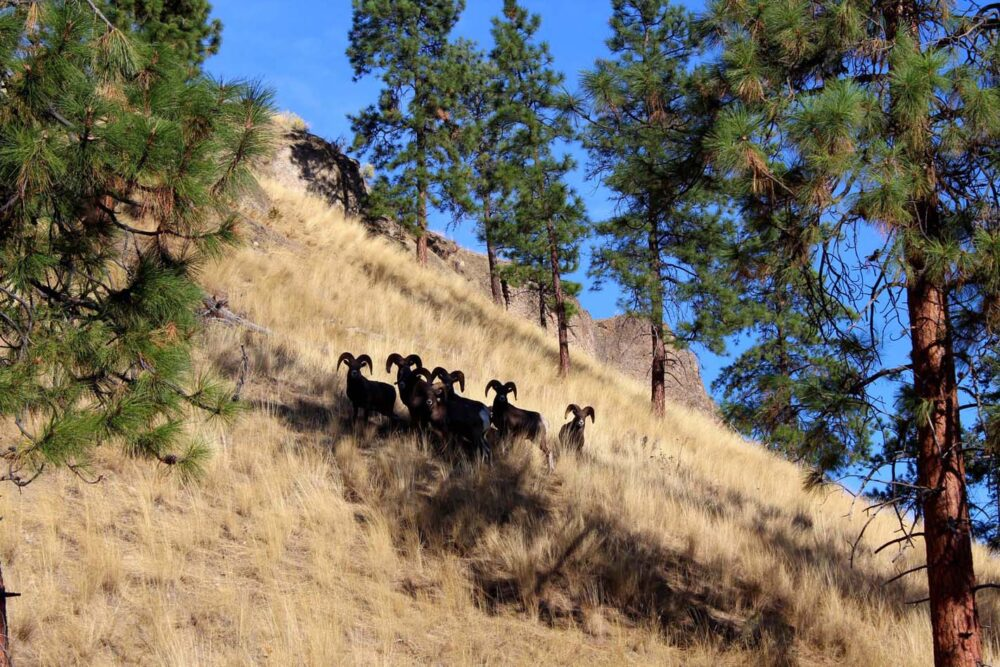 Bighorn sheep herd in the shadow of trees