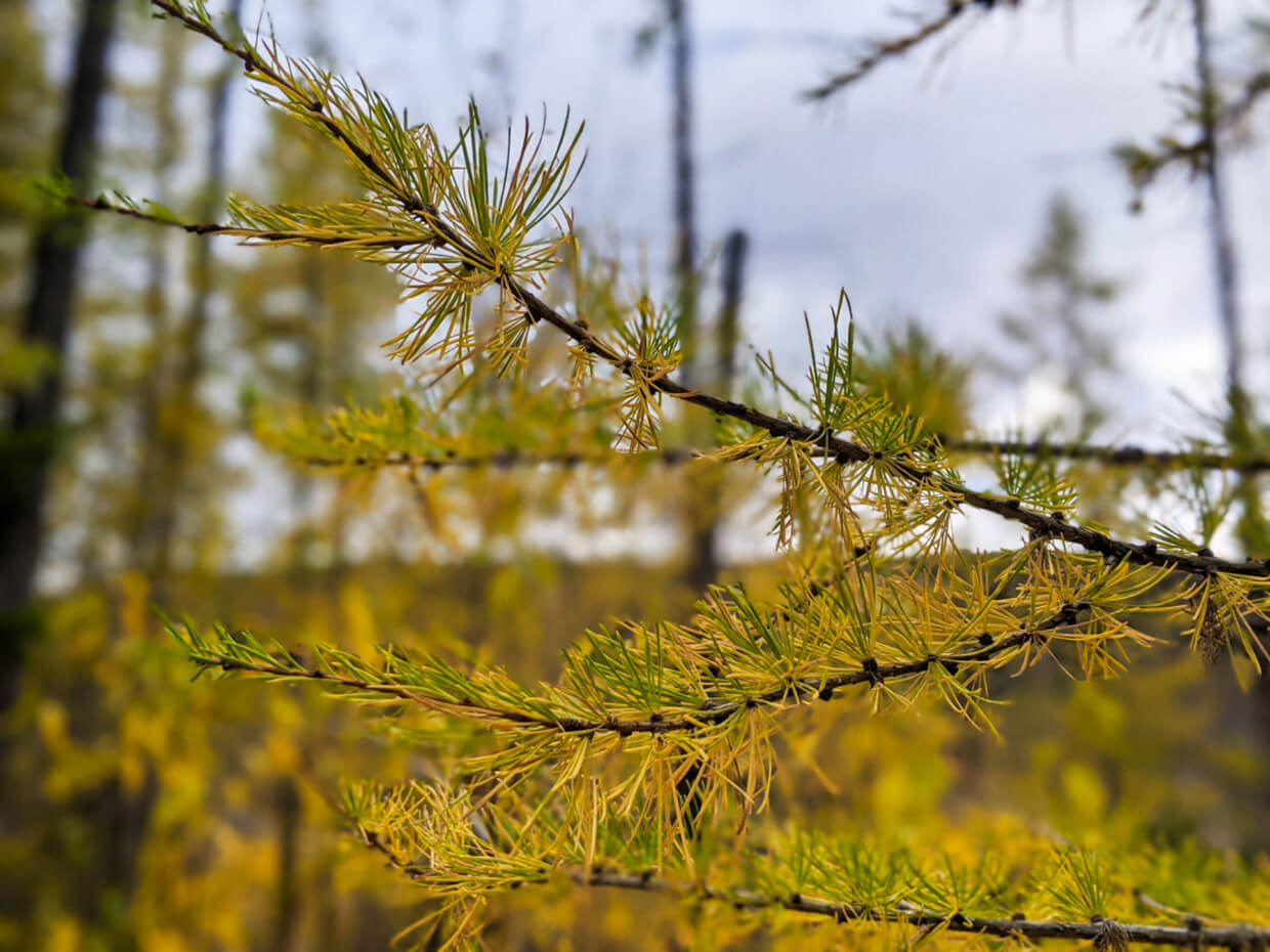 Close up of larch needles turning yellow