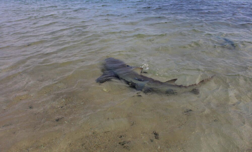Shark swimming in shallow water