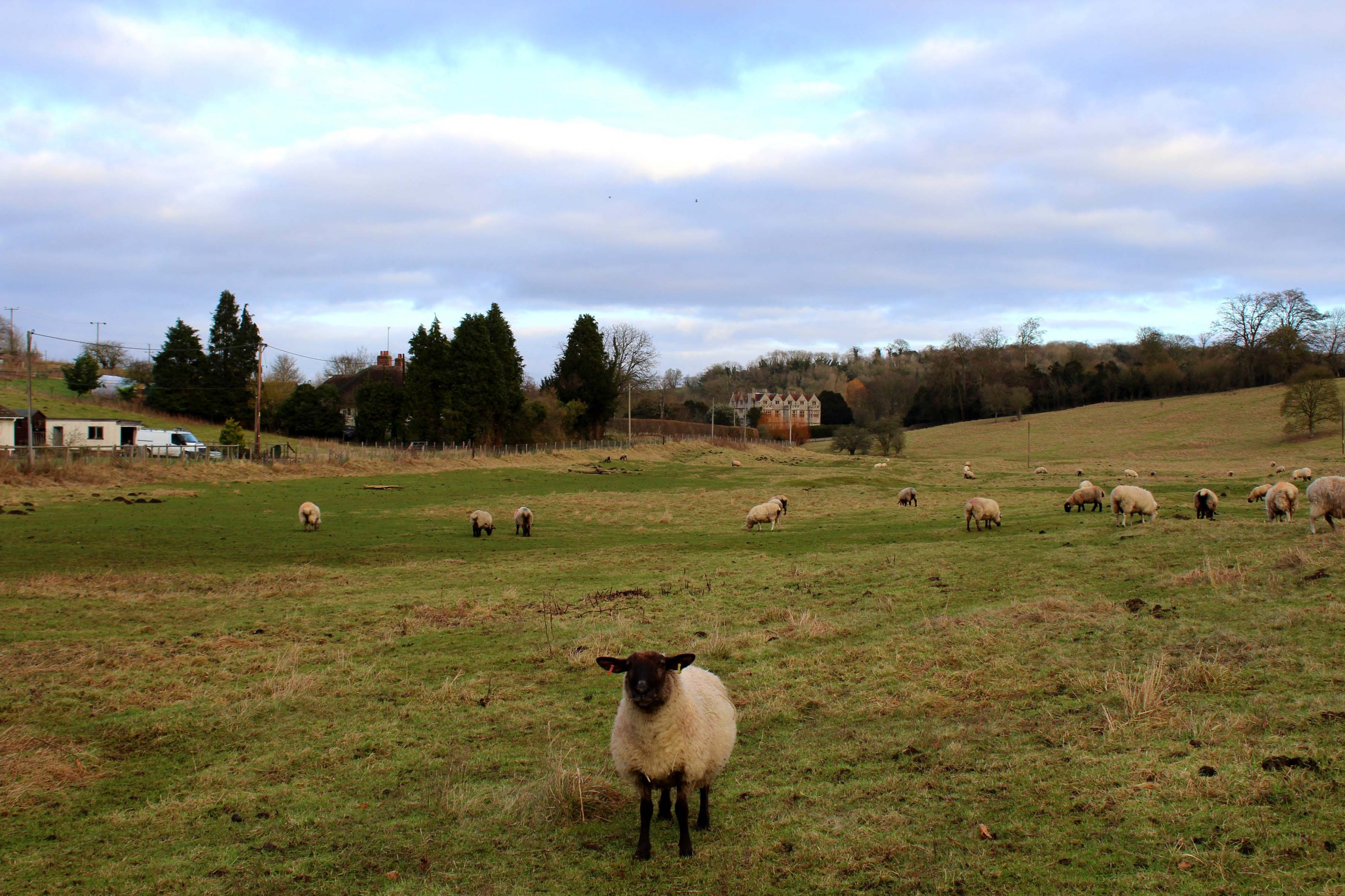 Great Stones Way long distance walking path - Sheep on the trail