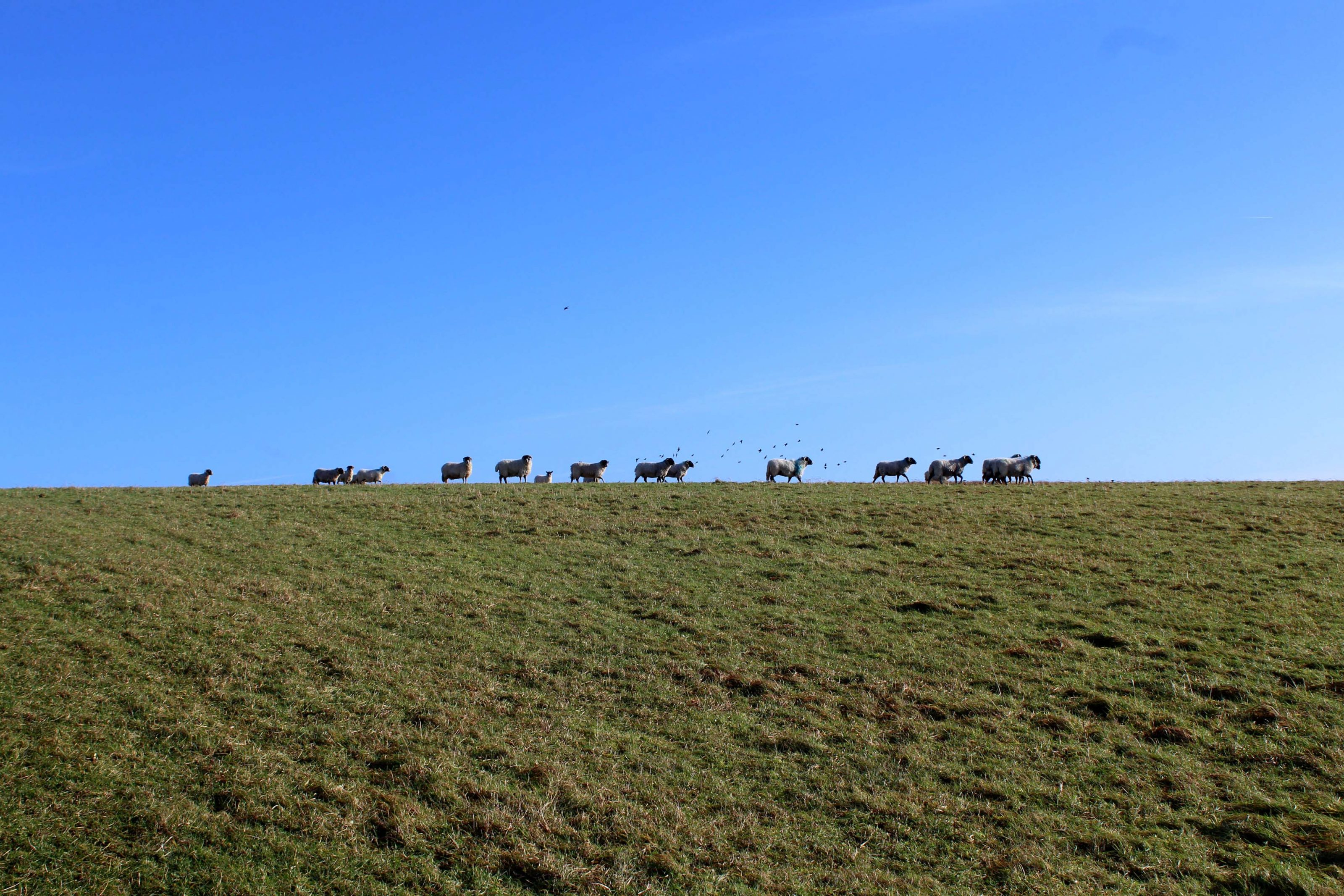 Great Stones Way long distance walking path - sheep on hill