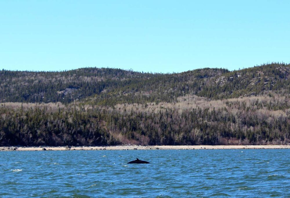 Dorsal fin of minke whale in ocean, seen while whale watching in Tadoussac