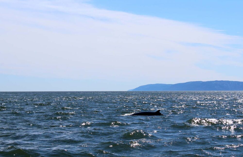 Minke whale swimming in ocean water near Tadoussac, Quebec