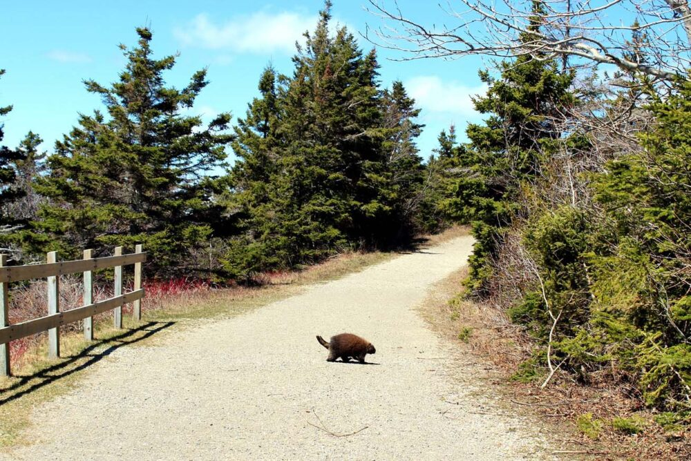 porcupine on Cap Gaspe trail forillon national park