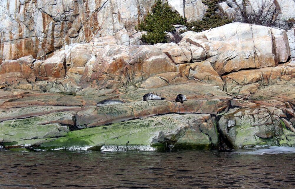 Seals resting on rocks by ocean near Tadoussac, Quebec