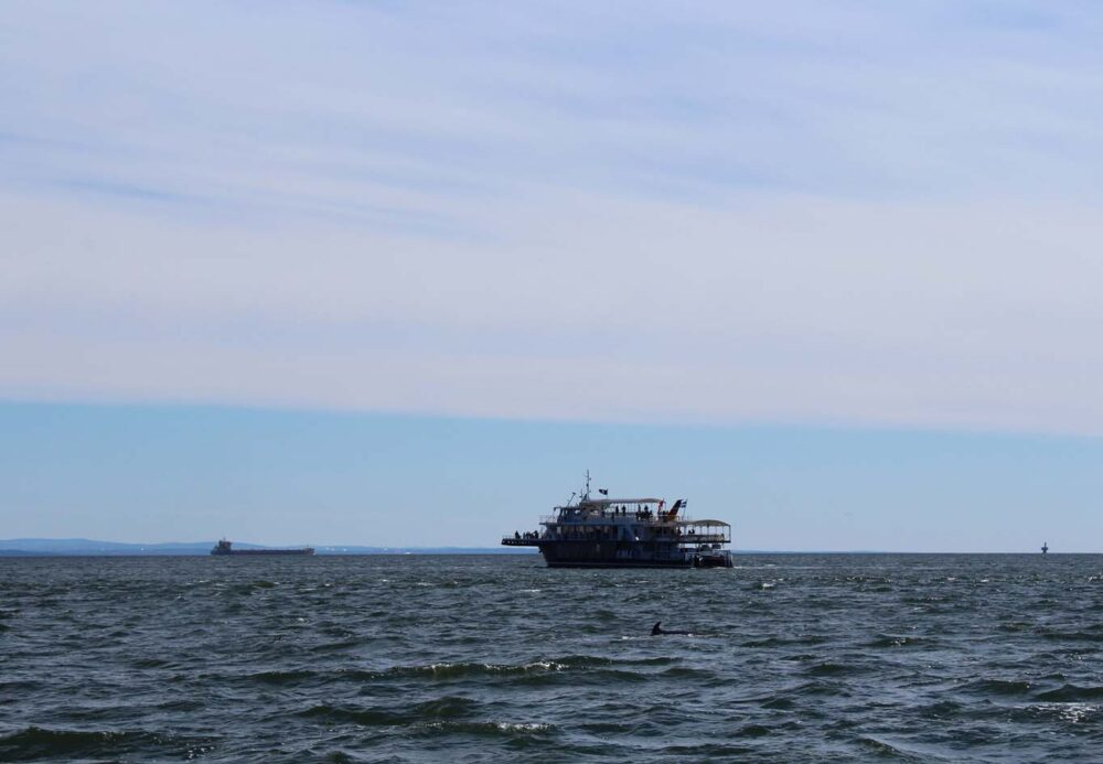 Minke whale with whale watching tour boat behind, Tadoussac