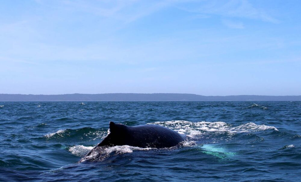 Humpback breaching ocean on spring whale watching tour in Nova Scotia