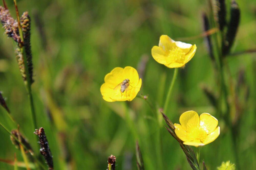 brier island wild flowers nova scotia eastern mount aven