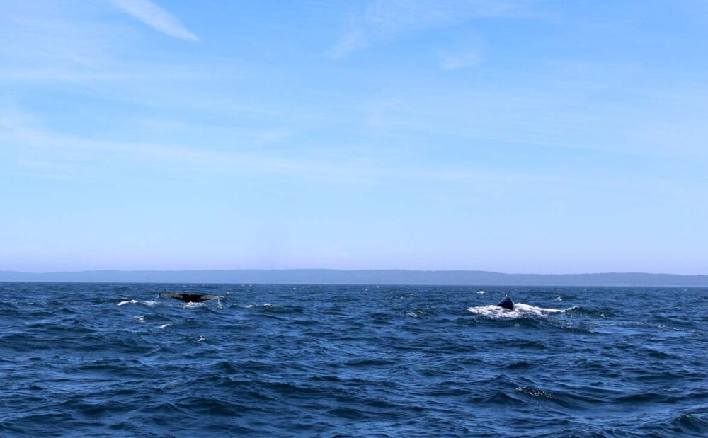 Two humpback whales in distance, as seen on our Brier Island whale watching tour