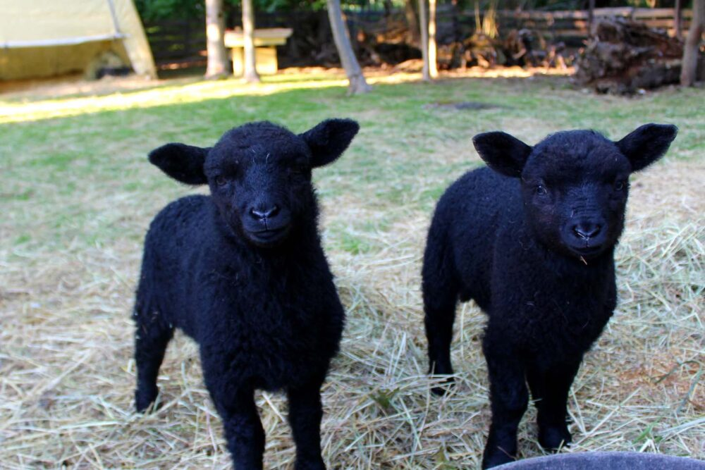 Two black lambs looking at camera