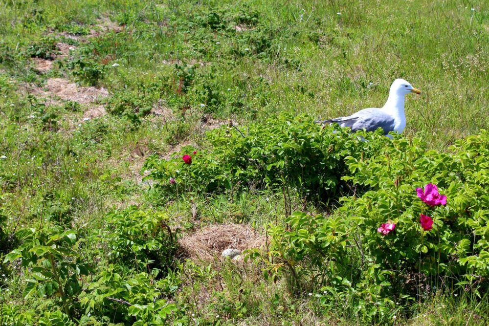 Nest with eggs, with a seagull walking