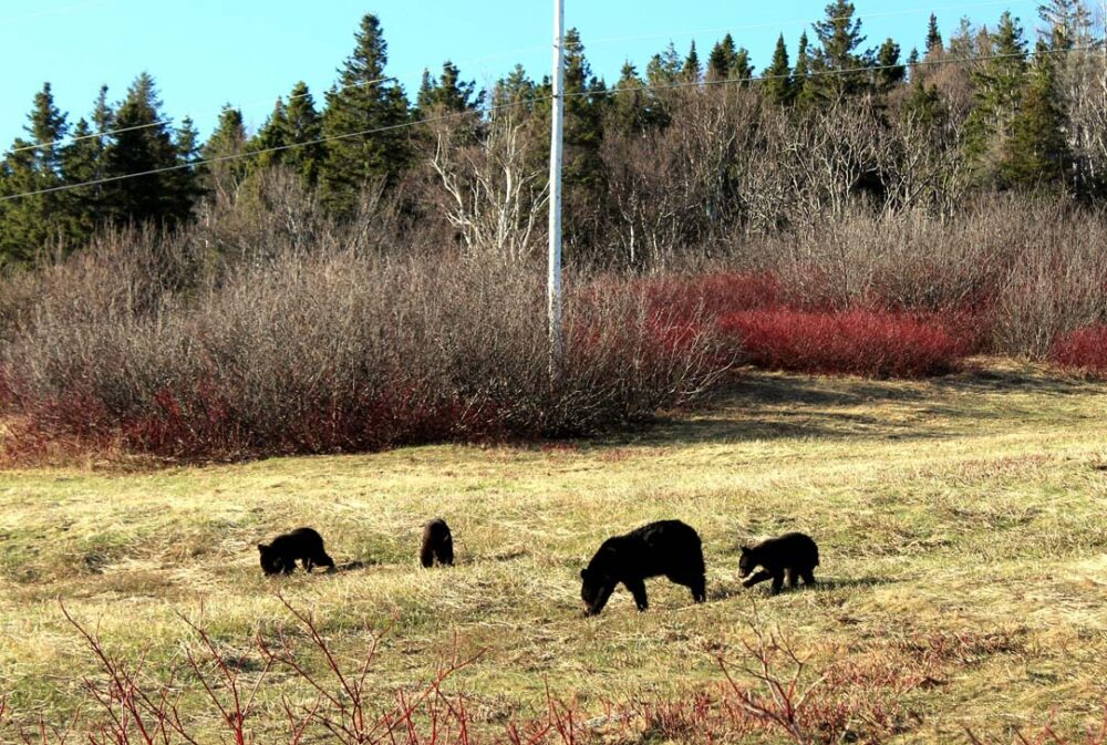 black bears forillon national park quebec parks