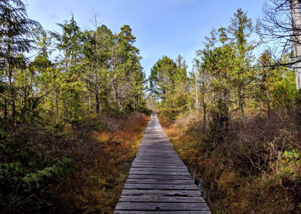 Boardwalk leading through swamp area of the Cape Scott trail with smaller trees