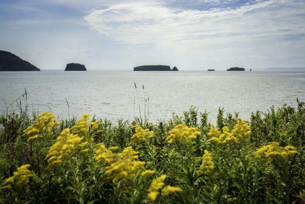 Looking out over yellow flowers to offshore islands in Five Islands Provincial Park