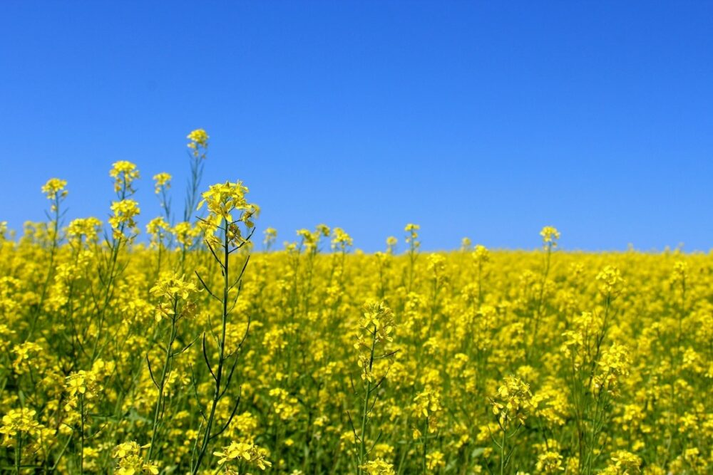 A field of bright yellow canola flowers