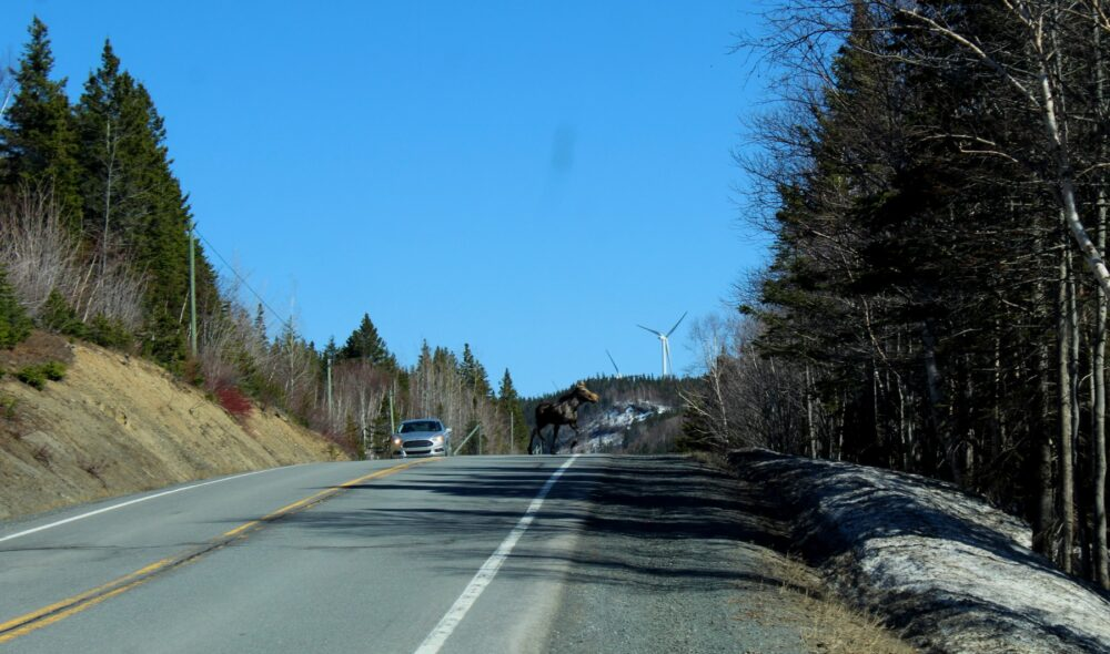 Moose on the road on the Gaspe Peninsula