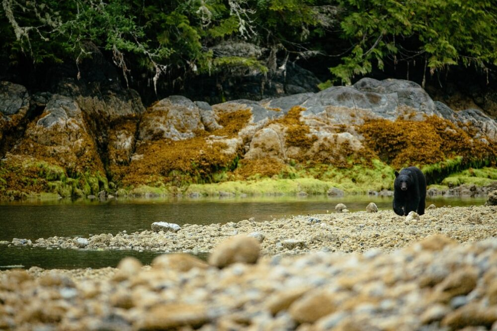 bear hunting for food on beach in Clayoquot Sound, Tofino