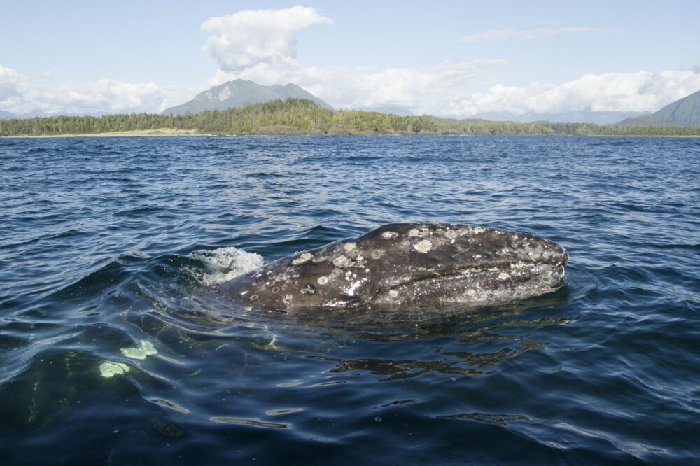 Gray whale rising out of water with barnacles on body