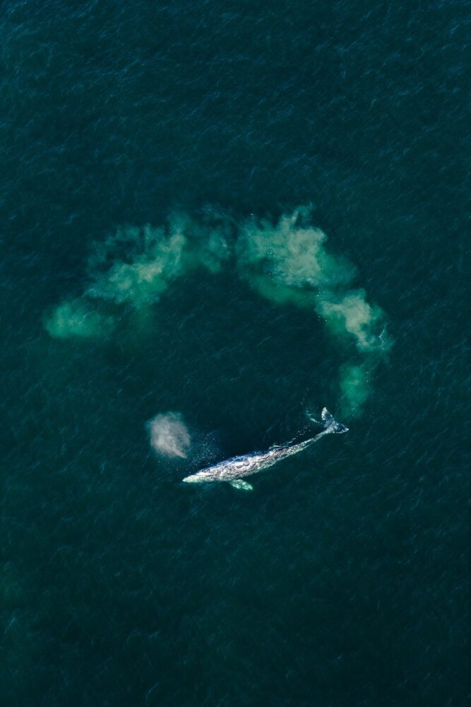 View of Gray whale from above
