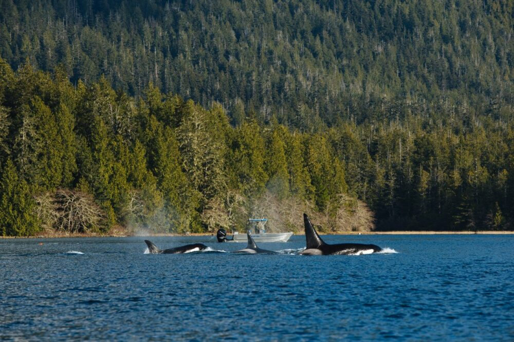 Small orca pod swimming in Clayoquot Sound with boat behind - photo by Jeremy Koreski