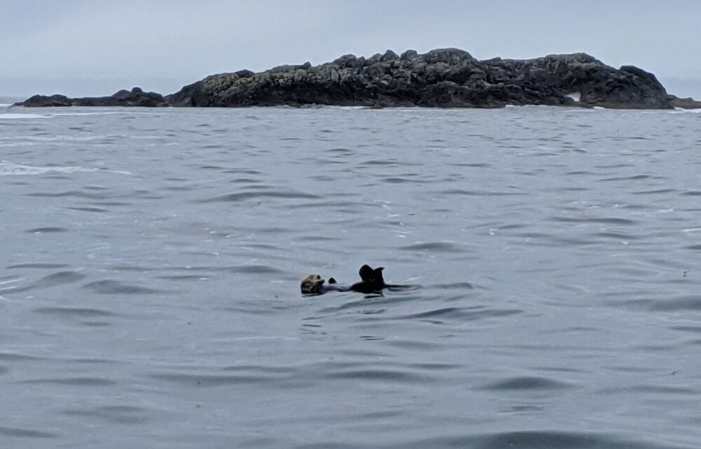 A sea otter floating on its back with toes pointing high
