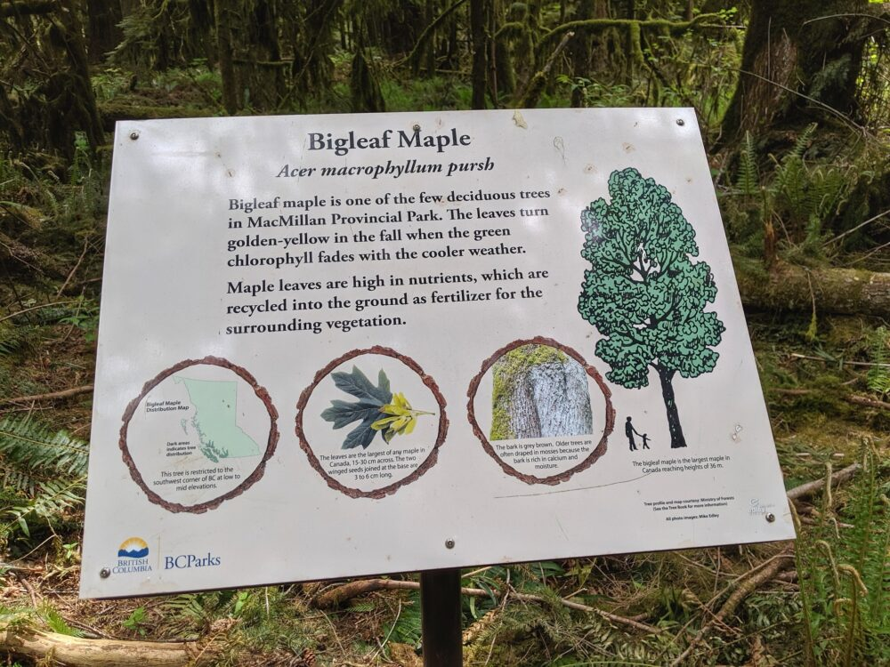 Bigleaf maple interpretive sign in Cathedral Grove