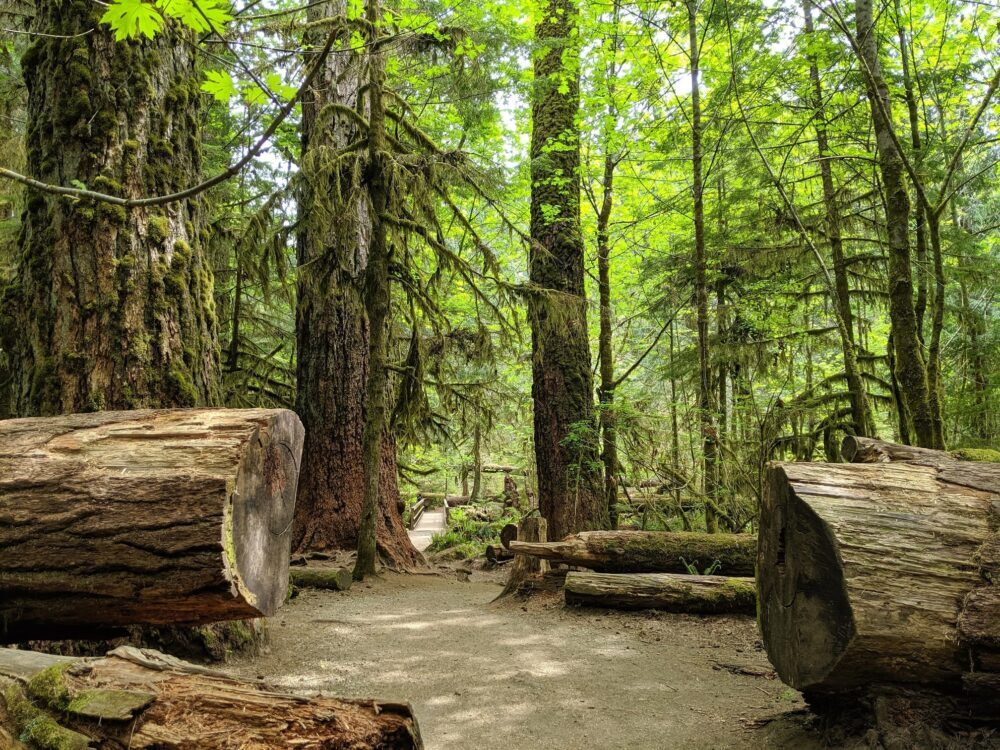 Looking through a large cut tree trunk to huge mossy trees in background