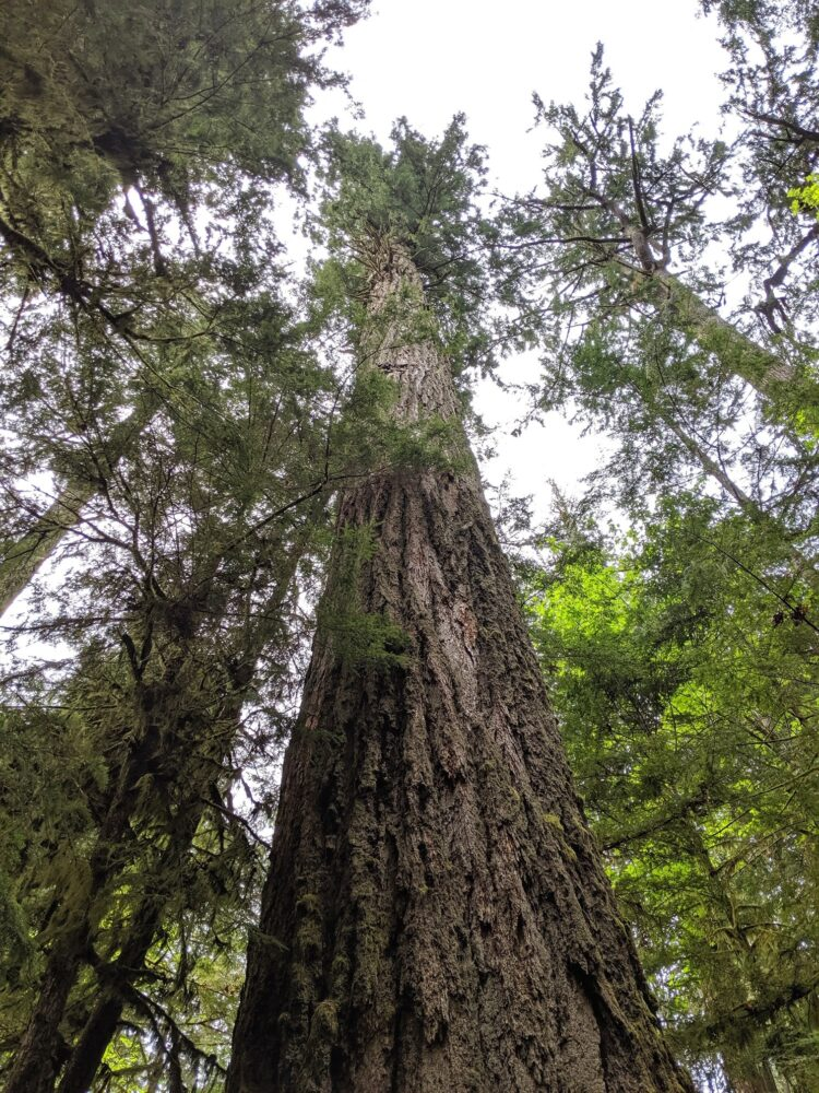 A gigantic tree trunk reaches towards the sky, the biggest tree in Cathedral Grove