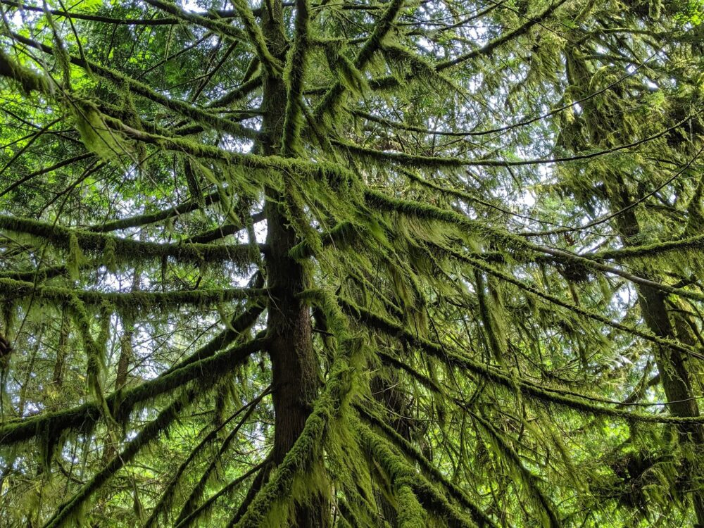 Tree with thick moss on branches in Cathedral Grove, BC