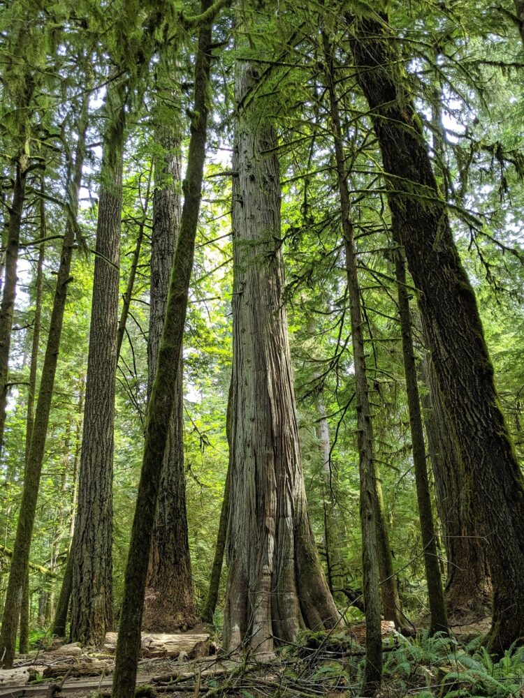 Huge trees stretch towards the sky in Cathedral Grove, BC