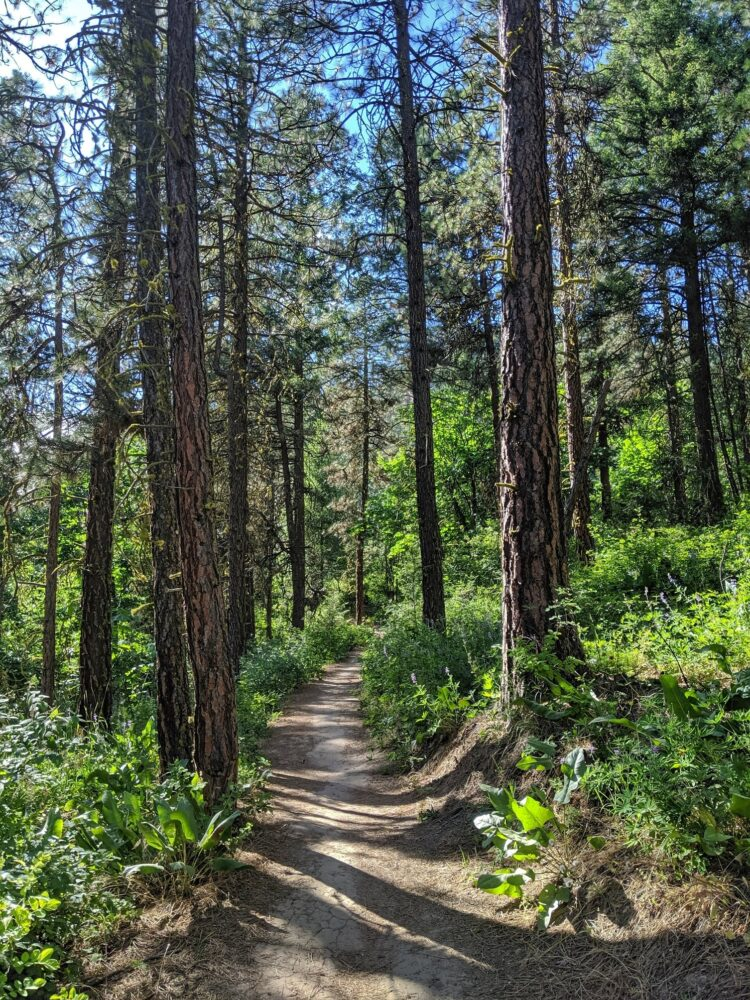 A dirt trail leads between tall trees on this pretty Leavenworth hike