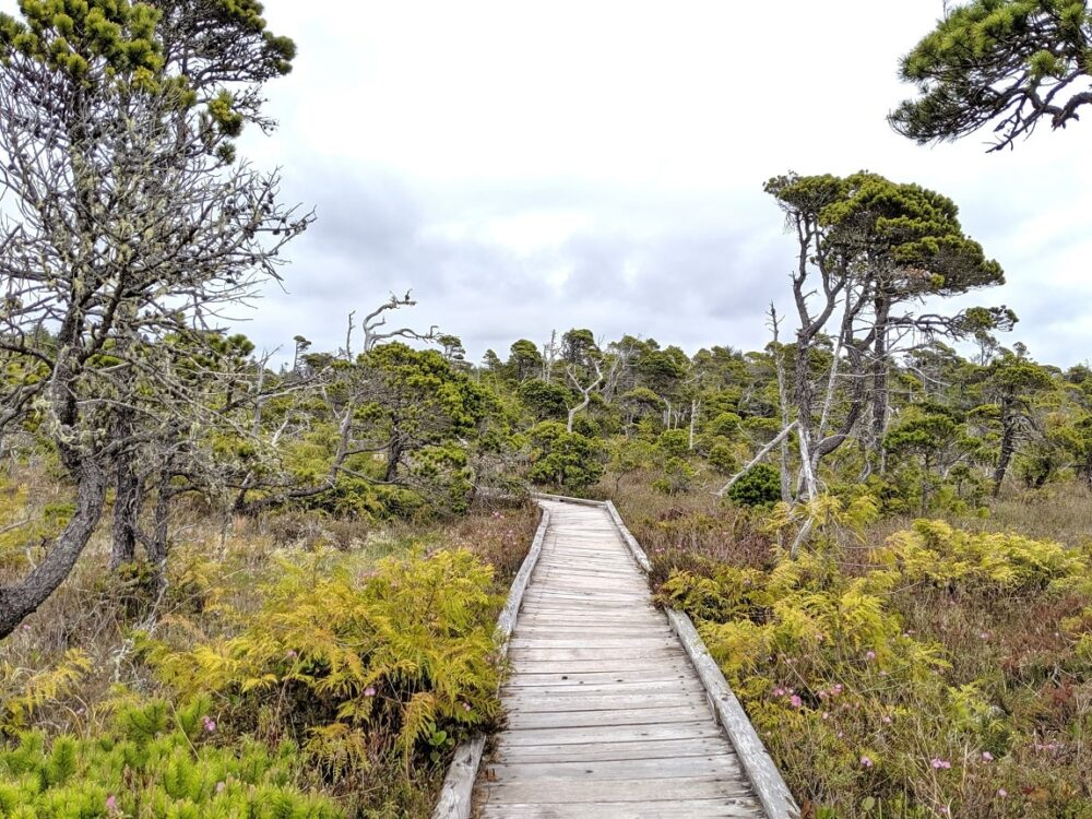 Boardwalk stretching into distance, surrounded by short bonsai like trees and brush