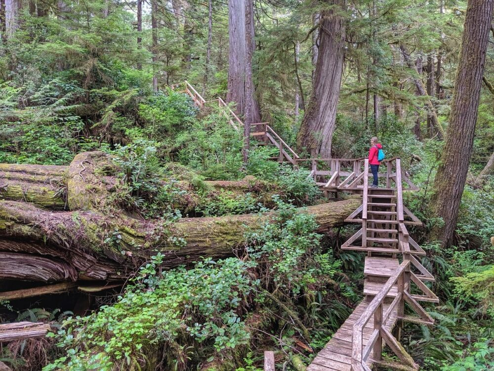 Gemma standing on wooden boardwalk in temperate rainforest, looking at huge fallen tree